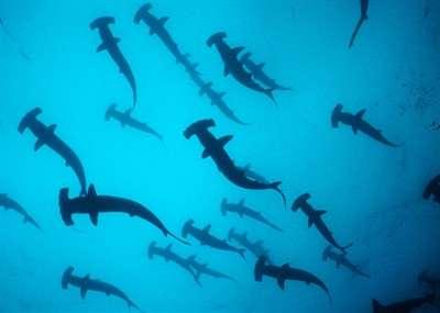 shark-and-rays-are-still-threatened-wwf