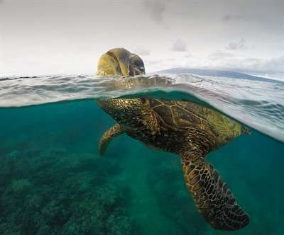 video-drone-footage-captures-gathering-of-64000-green-sea-turtles